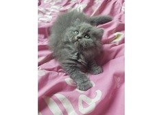 Cute kittens For Sale. What's app 0509143331