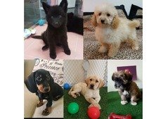 Puppies for sale. What's app 0509143331