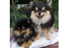 Pomeranian puppies for you