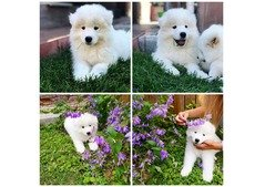 Samoyed puppy available