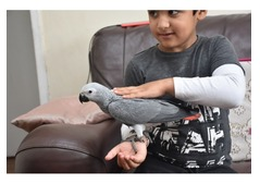 Baby African Grey Parrot for adoption