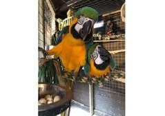 Male and Female macaws for sale Wasap only +971-586-695-042