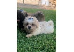 SHIH TZU PUPPIES FOR SALE- 0553433111